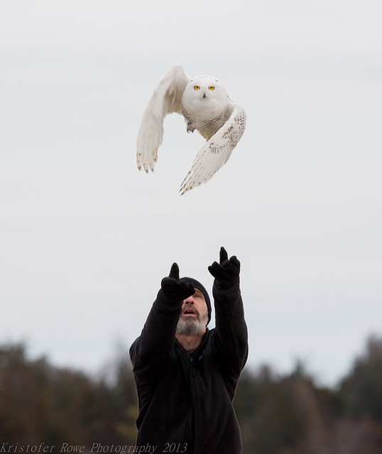 Amazing release of a Snowy Owl!