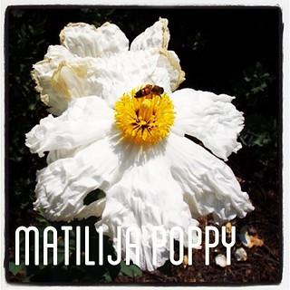 Garden Alphabet: Matilija Poppy (Romneya) | A Gardener's Notebook with Douglas E. Welch #flower #garden