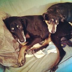 Good Morning! #dogstagram #snuggles #dobermanmix #coonhoundmix #adoptdontshop #Rescued #love #instadog