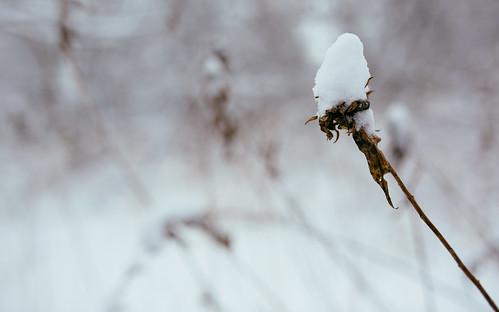 winter snow plant cold nature wisconsin canon dof depthoffield newberlin canoneos5dmarkiii sigma35mmf14dghsmart