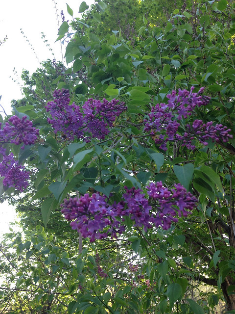 Just a few lilacs