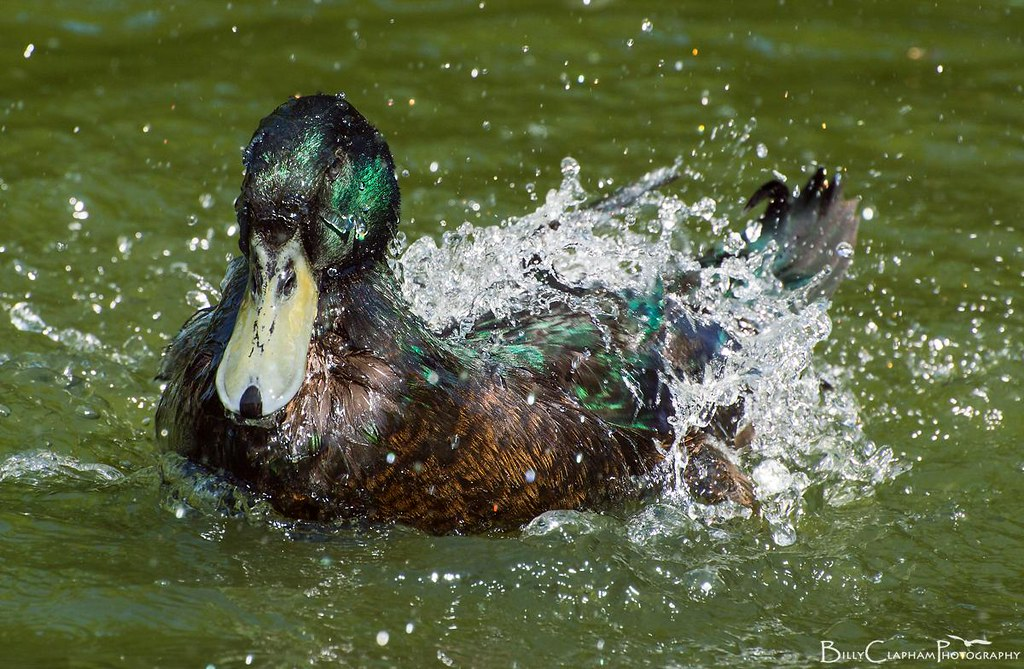 duck splash water droplets bath billy clapham