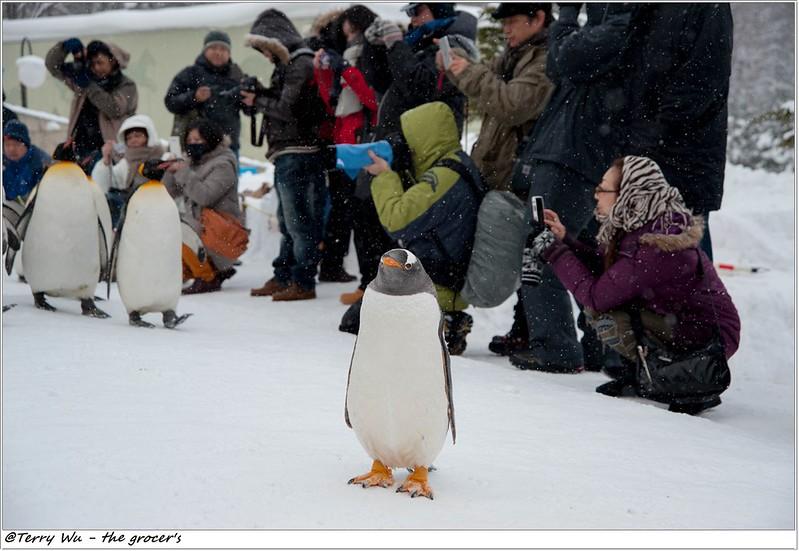 Day5 - 旭山動物園 - 企鵝散步-59
