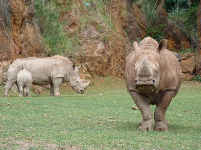 Rinocerontes blancos en Cabárceno (Cantabria)