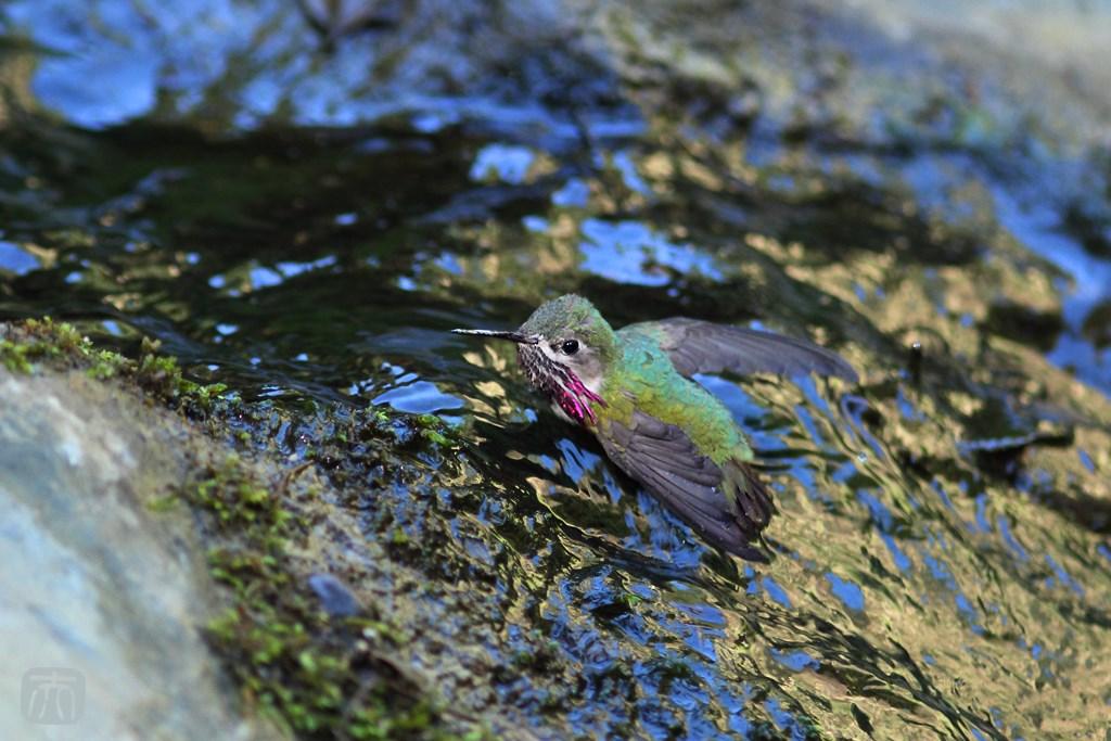Calliope Hummingbird 200614