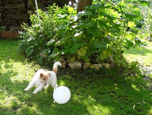 Helwen la petite chienne & le ballon de baudruche