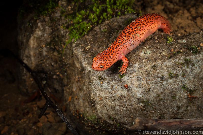 Red Salamander, Jefferson National Forest, Virginia