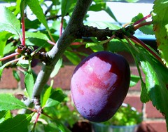 plum, branch, plant, damson, produce, fruit, food,