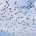 Lapwings in flight