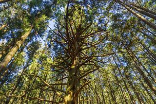 大杉を見上げる