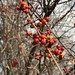 Winter berries on our back trees