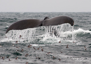 Humpback Whale - Megaptera novaeangiae