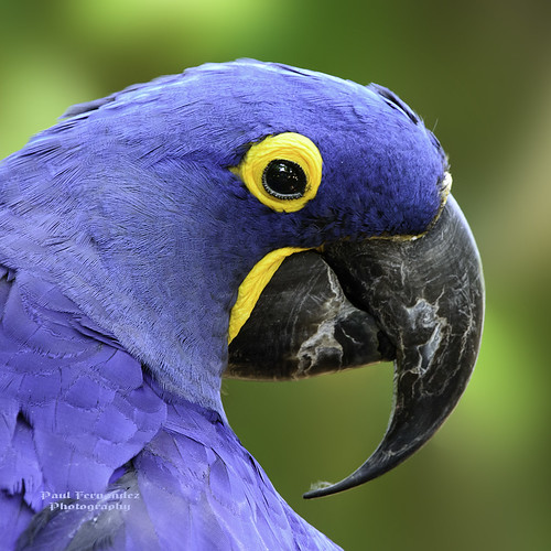 zoo florida macaw brevard hyacinthmacaw brevardzoo macawhyacinth