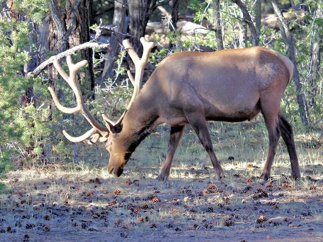 Elk 20130618