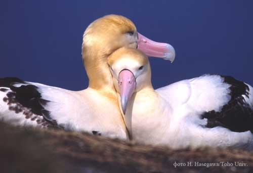 albatrus_pair