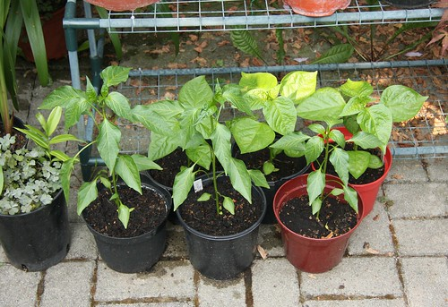 pepper seedling фото