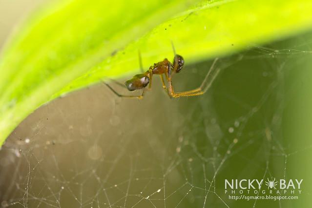 Sheetweb Spider (Linyphiidae) - DSC_2837
