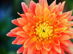 dahlia, flower, macro photography, close-up, petal,