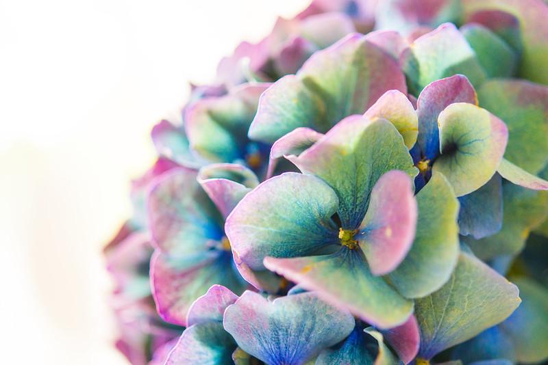 hortensia_blue-8