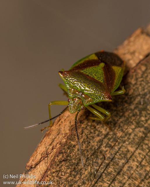 hawthorn shield bug Acanthosoma haemorrhoidale-12