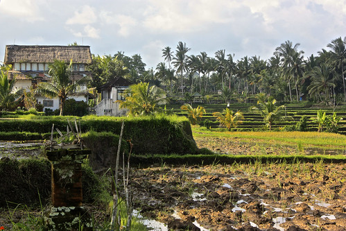 a large farm house pops out of the rice paddies