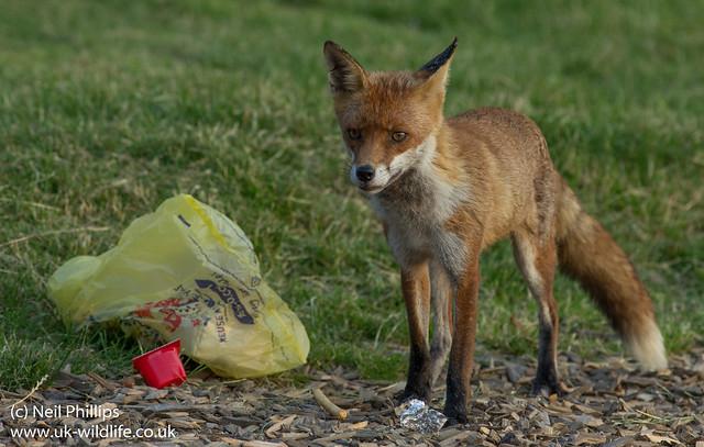 red fox_-2