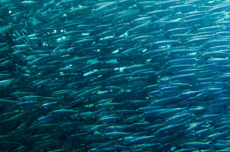 マイワシ Japanese sardine