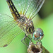 Blue dasher close-up by Vicki's Nature