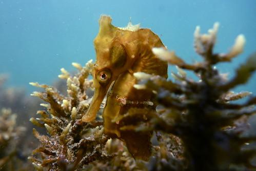 White's Seahorse-Hippocampus whitei