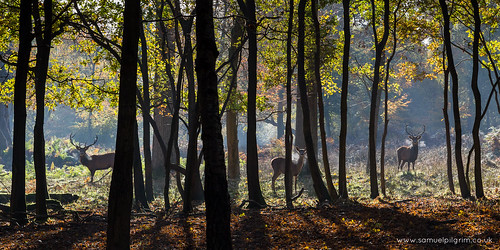 park wood uk morning november autumn winter sun tree leaves forest sunrise woodland landscape gold dawn countryside frozen frost stag royal doe deer antlers crisp windsor berkshire windsorgreatpark 2013