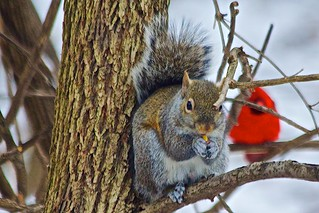 Squirrel & Cardinal- Maryland Heights, St. Louis Co.