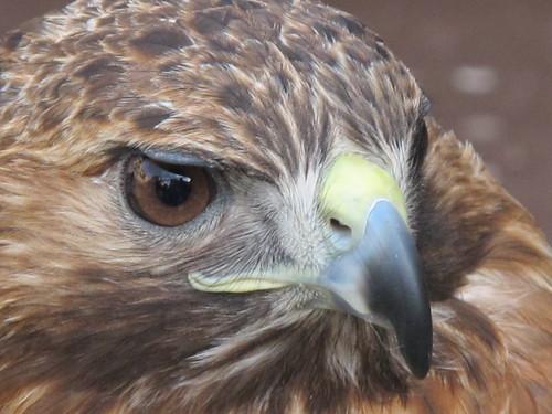 Rovfugle - Risager