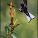 Black Jacobin (Florisuga fusca) by Glenn Bartley - www.glennbartley.com
