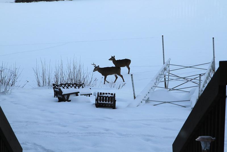 deer at dusk2