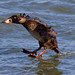 Surf Scoter Air Brakes  by arthurjsteinberger