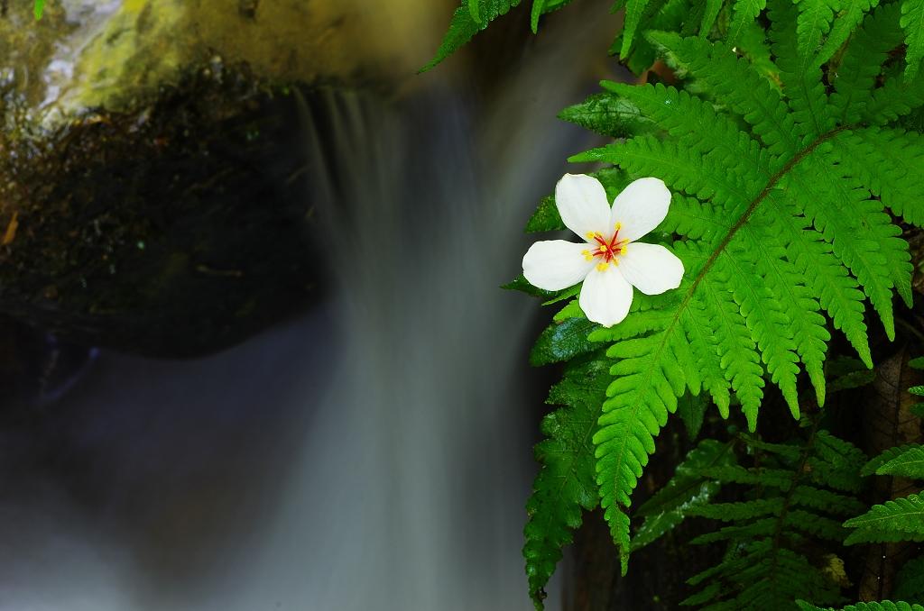 愛你一世油桐花