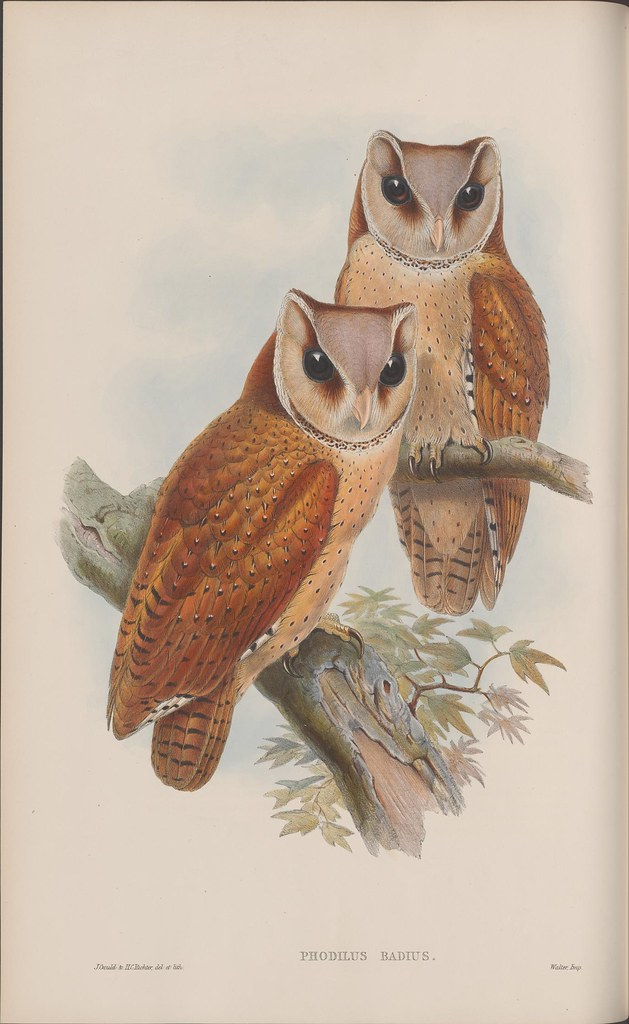 SE Asian owl sketch by John Gould 19th century