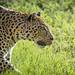 Wild African Leopard, Okonjima, Namibia by Eric Lafforgue