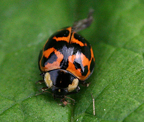 Harlequin Harmonia axyridis form succinea Tophill Low NR, East Yorkshire May 2014