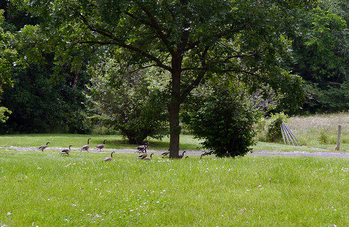 2014-06-21 - Geese - 0008 [flickr]