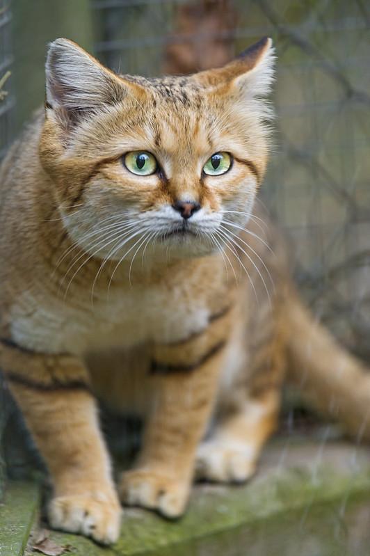 Cute and attentive sand cat