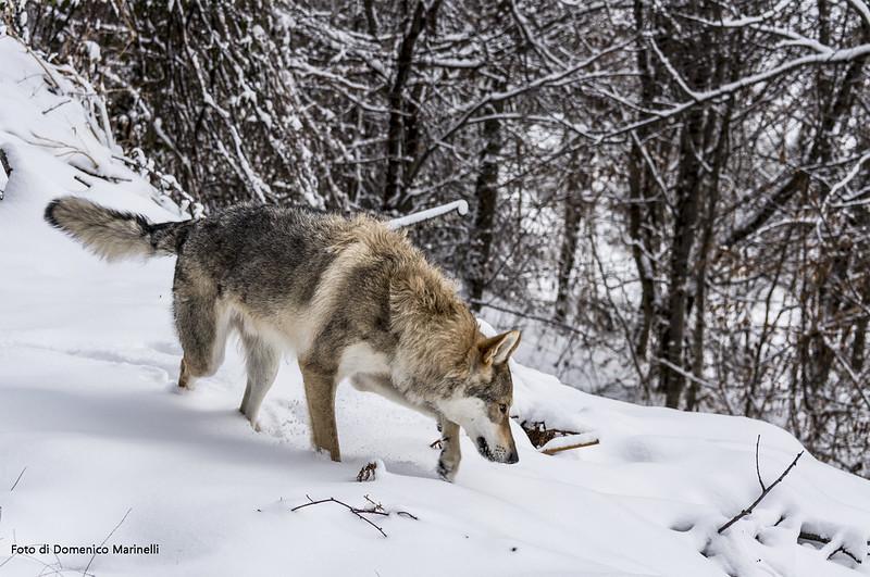 Lupo appenninico - Italian Apennine wolf