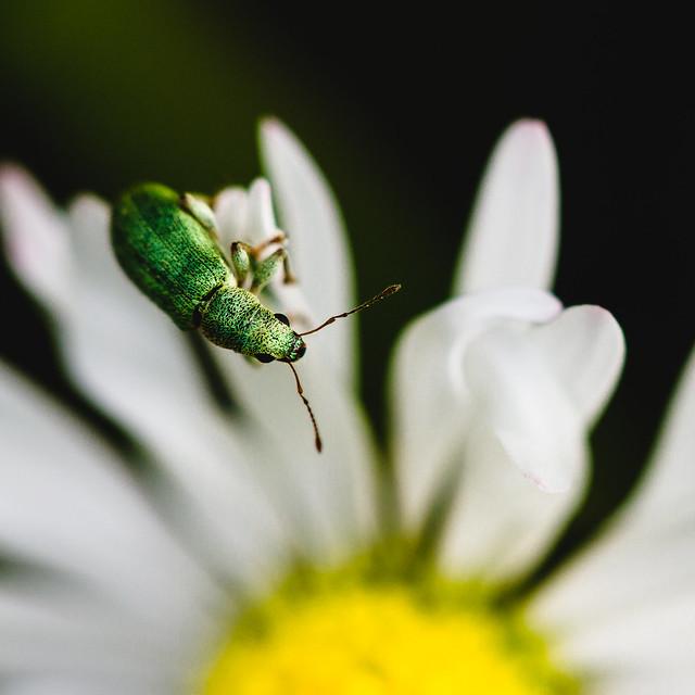 [067] Green Weevil