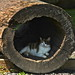 Squinty-eyed Cat in a Hollowed Out Log