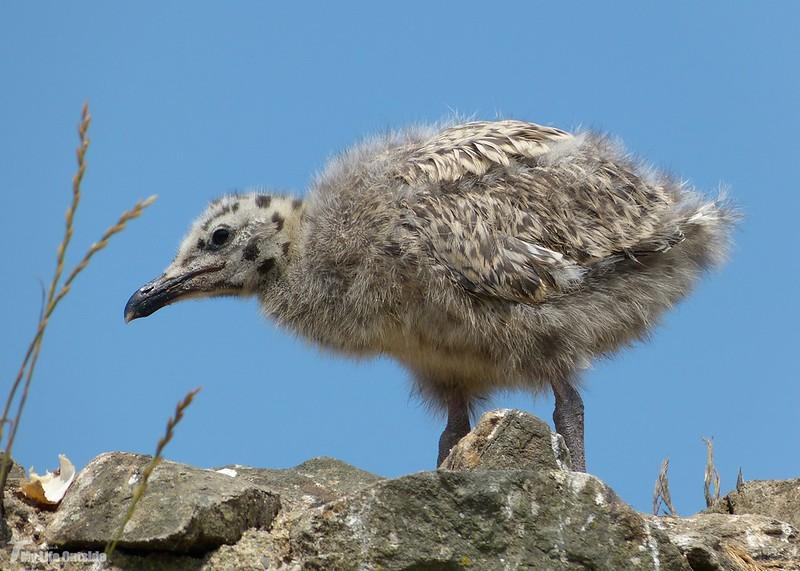 P1070909 - Juvenile Herring Gulls, Conwy