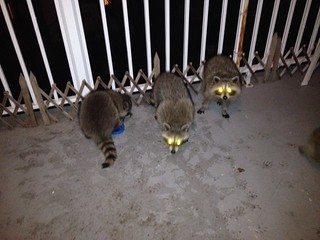 Racoon galore