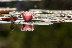 Water Lily Sparkle