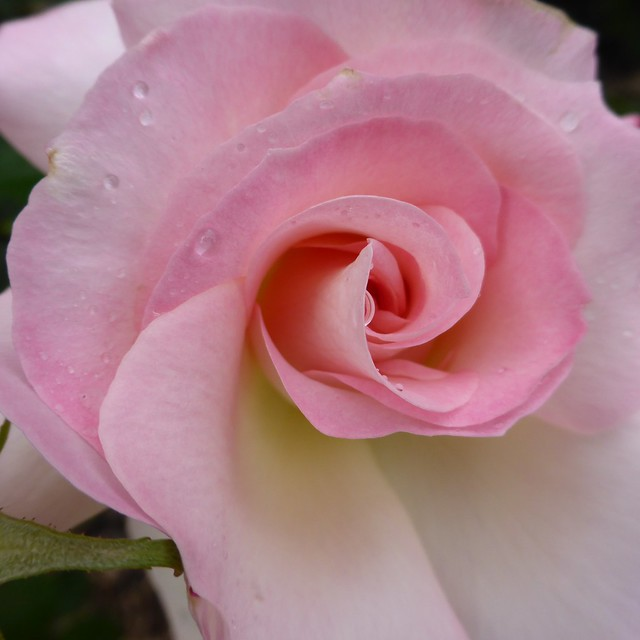 Adelaide International Rose Garden, Panasonic DMC-TZ40