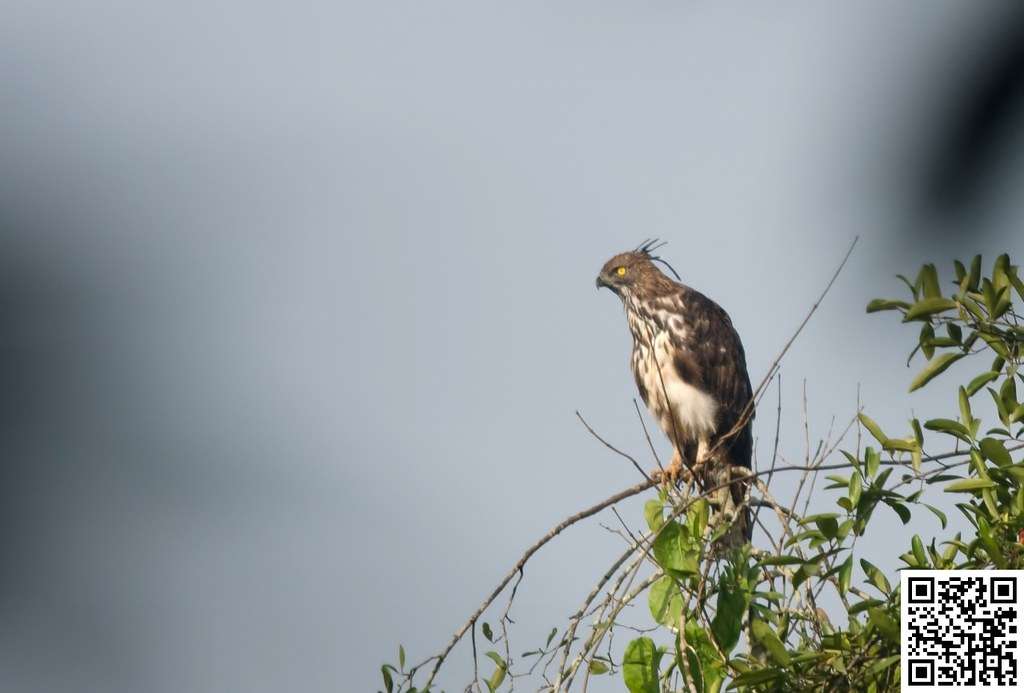 Changeable hawk-eagle [Águila Azor Variable]
