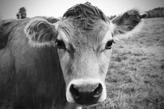 Dairy Cow, Adirondacks